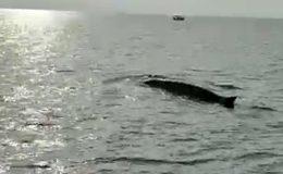 Hatay'da uzun balina heyecanı