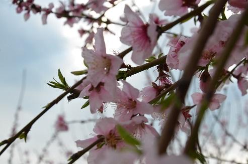 Hatay'da baharın gelmesiyle çiçek açan ağaçlar görsel şölen oluşturdu