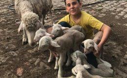 Koyun tek batında 6 yavru doğurdu