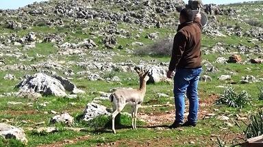 Hatay'da Gazella Gazella ceylanlarının sayısı 1141'i buldu