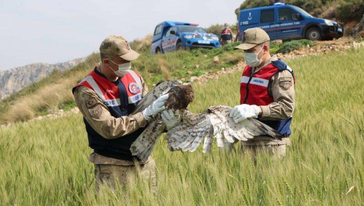 Yaralı bulunan yılan kartalı tedaviye alındı