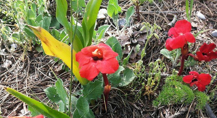 Kardeş kanı çiçeği Amanosları renklendiriyor