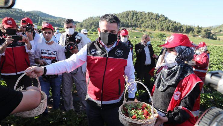 Bakan Pakdemirli, Yayladağı'nda çilek hasadına katıldı