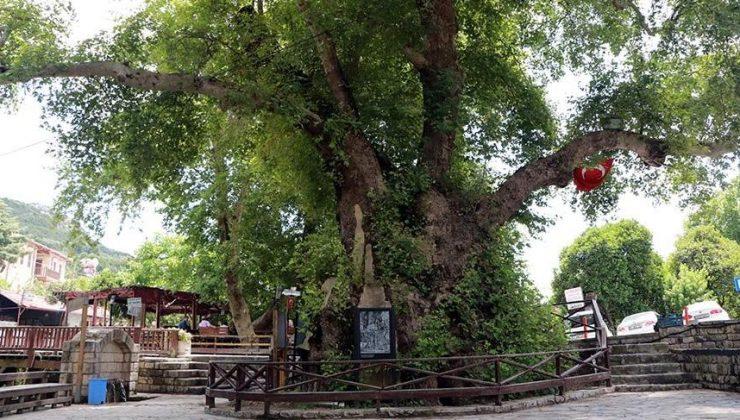 """3 bin yıllık """"Musa ağacı"""" pandemide sessizliğe büründü"""