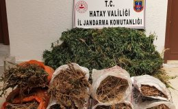 Hatay'da 10 bin kök kenevir bitkisi ele geçirildi