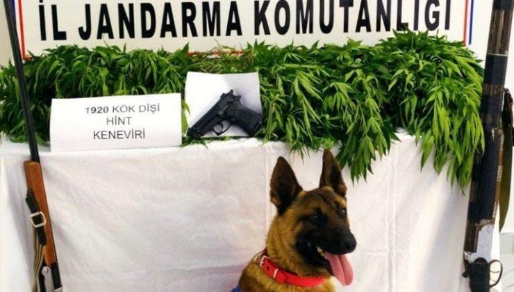 Kırıkhan'da bin 920 kök kenevir bitkisi ele geçirildi