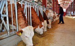 Hayvancılık destek ödemeleri bu hafta yapılacak